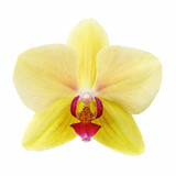 Flower of orchid yellow color isolated on white background