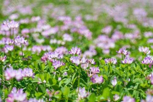 Fotobehang Purper レンゲ畑