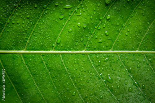 Green leaves texture and drop of water, Wallpaper by detail of green leaf. - 207167150