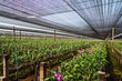 Nursery Orchid farm. The flowers are going to bloom.