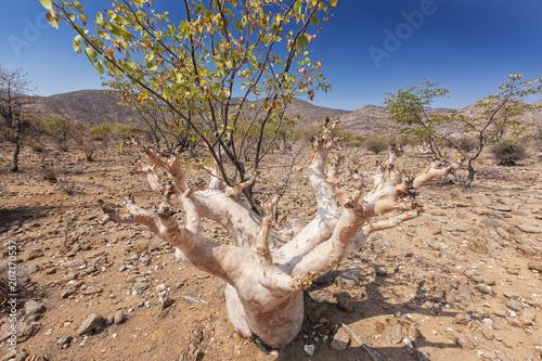 Fotobehang Baobab Rare African tree, known as white immersion.