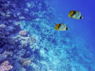 underwater world of the sea, two butterfly fishes, corals, against the background of the sea bottom and the blue depth of the sea