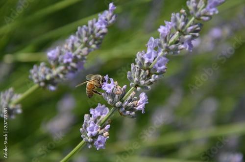 Aluminium Lavendel Abeille qui butine sur un brin de lavande