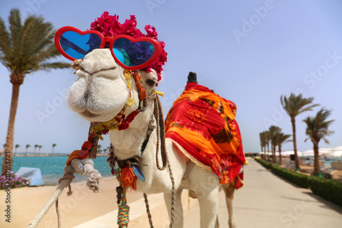 Fotobehang Kameel Funny camel with heart shaped sunglasses dressed in costume