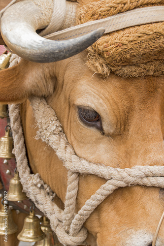 A cow head with hirn.