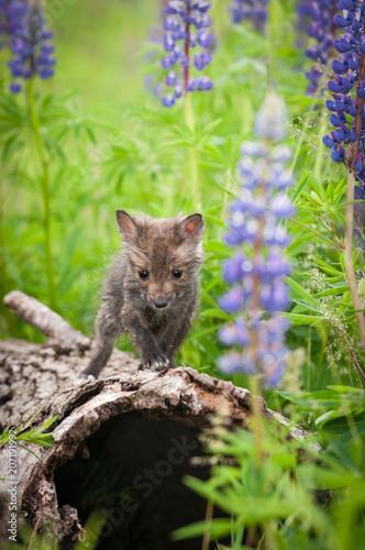 Foto Murales Red Fox (Vulpes vulpes) Kit Alone Atop Log