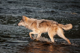 Grey Wolf (Canis lupus) Steps Left Through River - 207192323
