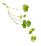 Coriander garden, cooking herb Isolated against a white background. - 207195316