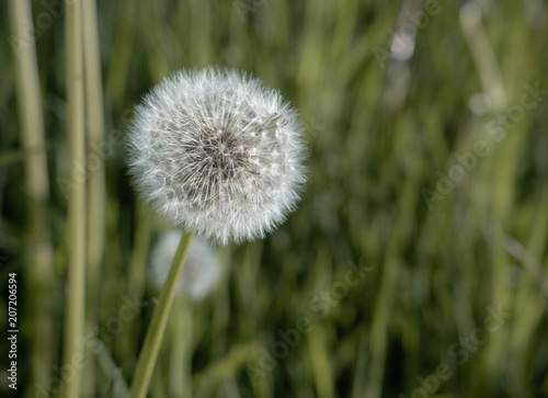 Canvas Paardenbloemen Close up of the seed head of dandelion flower
