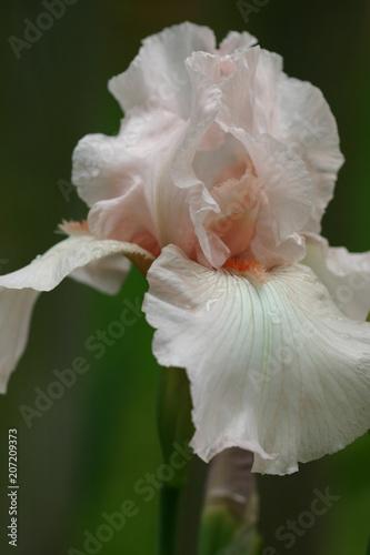 Aluminium Iris Pink Iris