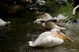 Pelican bird playing water