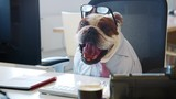 British bulldog sitting at a desk in an office, working - 207224590