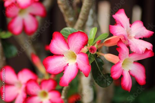 Aluminium Azalea colorful pink azalea flowers on background