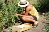 jardin potager - récolte de fèves - 207241705