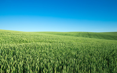 field of green grass on a background sky