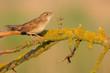 Grasshopper warbler. Locustella naevia.