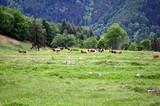 Kuhweide im Schwarzwald