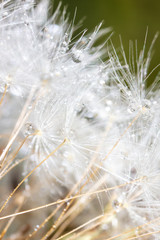 Fluffy dandelion on nature as background