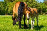 Small male foal and his mother in a meadow on a sunny day. - 207270547