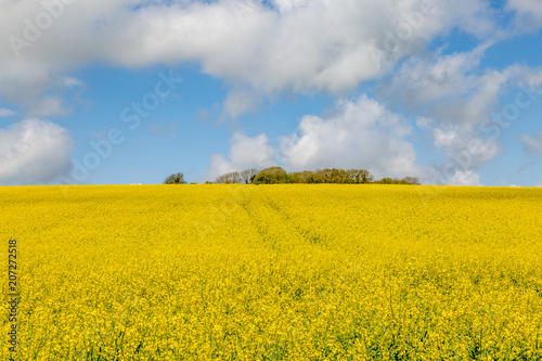 Fotobehang Oranje A Field of Vivid Yellow Canola/Rapeseed Crops in Sussex