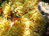 Two-banded clownfish - 207282310