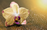 Beautiful yellow purple orchid flower with water drops - greeting card idea