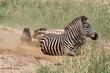 Zebras rolling in the sand