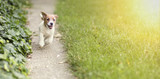 Happy Jack Russell Terrier puppy dog running to the camera - 207289373