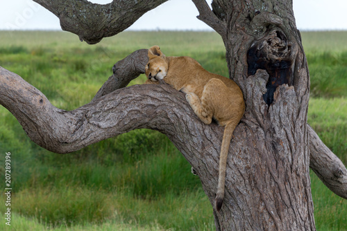 Canvas Lion Lion club sleeping in tree