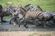 Zebras running in the water