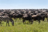 Great migration in the Serengeti - 207289548