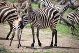 zebra with young zebra, standing together