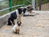 dogs and cat together in the streets of a village in Asturias, Sapin - 207308386