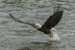 Bald Eagle Swooping Down to Catch a Fish