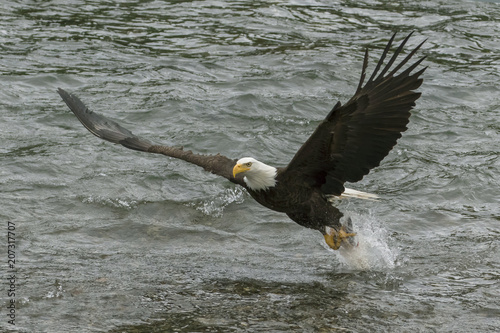 Aluminium Eagle Bald Eagle Swooping Down to Catch a Fish