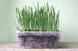 Young wheatgrass plant in recycled plastic box