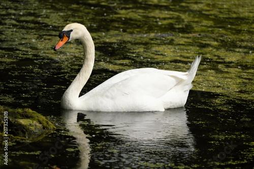 Aluminium Zwaan Swan