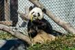 Panda Eatng Bamboo