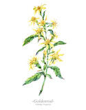 Watercolor summer medicinal flowers, Goldenrod plant - 207332129