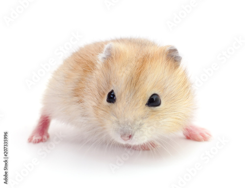Naklejka Small domestic hamster.