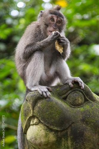 Fotobehang Aap Monkeys at the Sacred Monkey Forest Sanctuary in Ubud, Bali