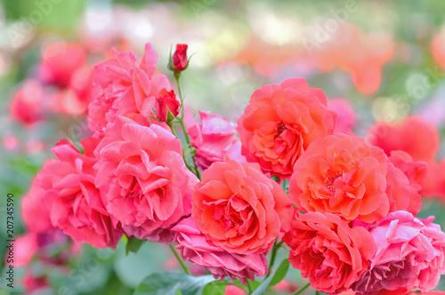 Fotobehang Candy roze 初夏の薔薇