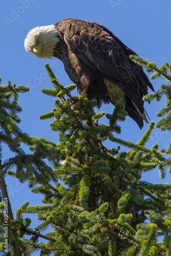 Canvas Eagle Bald Eagle Alaska