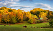 Autumn Appalachian farm at the end of the day - cows on back roads near Boone North Carolina
