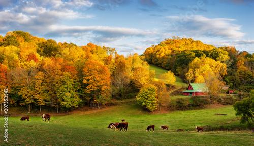 Jesień Appalachian farm na koniec dnia - krowy na tylnych drogach w pobliżu Boone w Północnej Karolinie