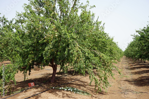 Foto Murales Almond trees