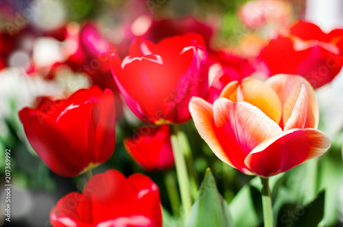 Fotobehang Rood Red tulips on a soft floral background