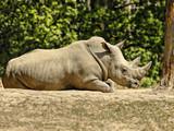 Rhinoceros - Southern White Rhinoceros - 207375357