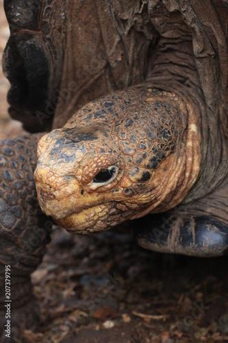 Aluminium Schildpad Wildlife in Galapagos islands, Ecuador