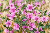Malva sylvestris. Plantas de malva común con flores.  - 207382557